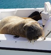 Wally the walrus swaps Ireland for Iceland